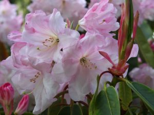 Rhododendron 'Loderi King George'