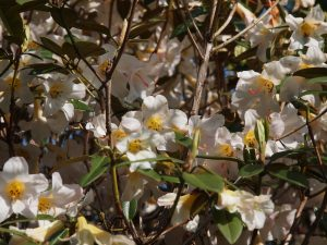 yellowish royalii hybrid