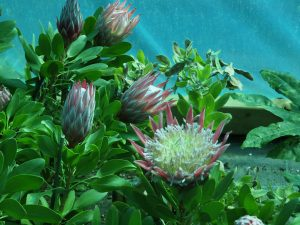 Protea 'Little Prince'