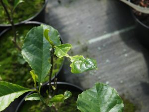 Slug damage on magnolia leaves