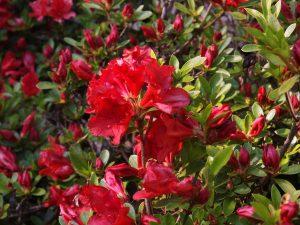 Azalea 'Vuyks Rosy Red'