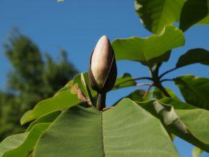 Magnolia obovata 'Pink Flush'