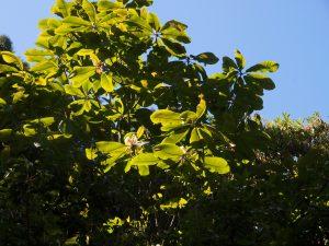 Magnolia rostrata