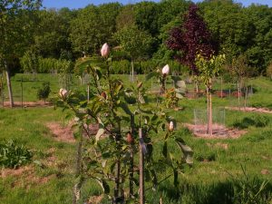 Magnolia 'Summer Solstice'