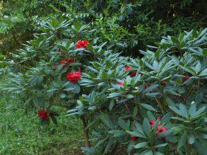 Rhododendron elliotii