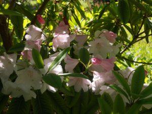 Rhododendron loderi 'Venus'