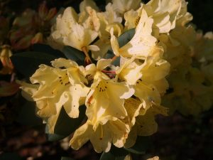 Rhododendron 'Yellow Petticoats'