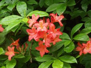 late flowering Ghent azalea variety