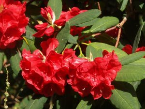 Rhododendron 'Tally Hoo' x elliotii