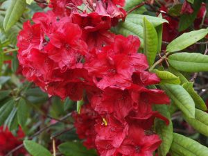 Rhododendron 'Treberrick'