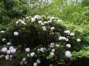 may be Rhododendron 'Purity'