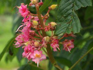 Aesculus x bushii