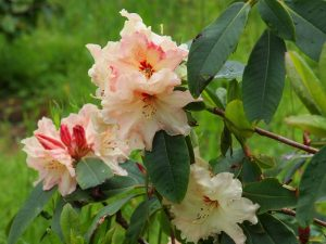 Rhododendron 'Loch Levan'