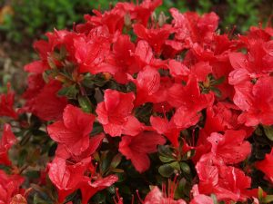 Azalea 'Orange King'