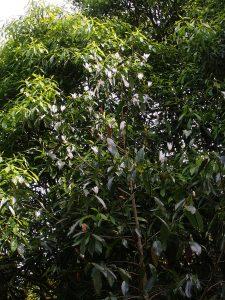 Michelia foveolata