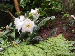 Rhododendron liliflora
