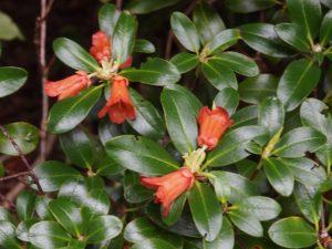 Rhododendron dichroanthum subsp apodectum