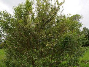 Styrax formosanus var Hayatiana