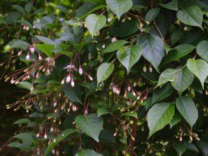 Styrax japonicus 'Pendula'