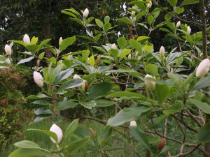 Magnolia sieboldii sinensis x Magnolia virginiana