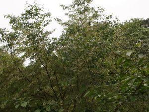 Styrax formosanus hayatianus