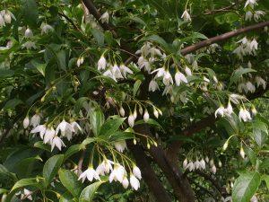Styrax wuyuanensis