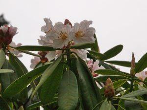 Rhododendron auriculatum