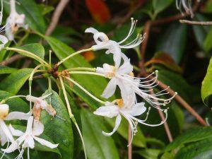 Rhododendron stamineum