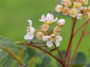 Sorbus gongashanica