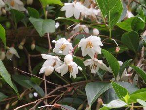 Styrax japonicus 'Pendulus'