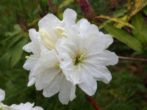 Rhododendron 'Polar Bear'