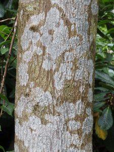 Styrax hookeri