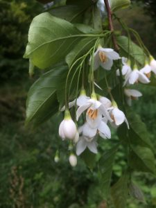 Styrax japonicus 'Crystal'