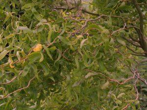 Salix babylonica 'Tortuosa'