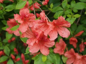 evergreen azalea with orangeish flowers