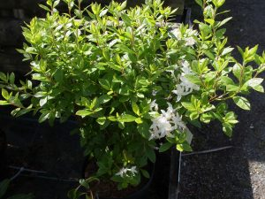 Azalea viscosum