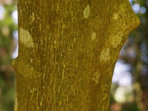bark on Styrax obassia