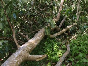Manglietia insignis