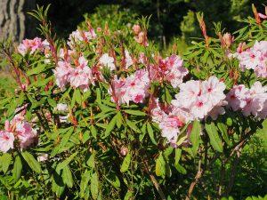Rhododendron 'Pink Polar Bear'