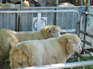 Calf, lambs, guess the name of the sheep and sheep shearing