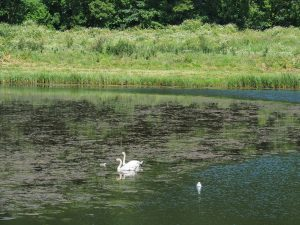 Swans and two cygnets