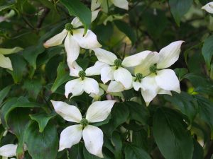 Cornus kousa 'Windle Weeping'