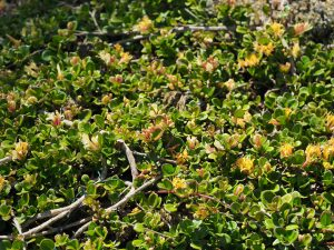 Lonicera crassifolia