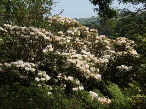 Rhododendron fortunei var discolor