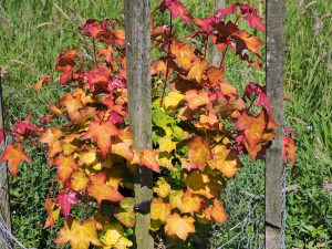 Acer cappadocium 'Aureum'