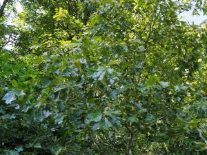 Quercus x bushii