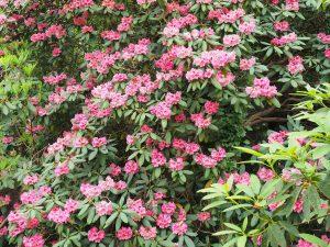 'Harrod Hybrid' rhododendrons