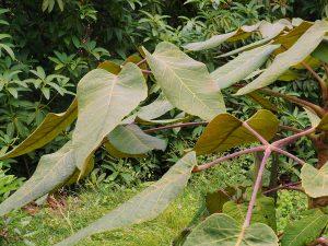 Schefflera macrophylla