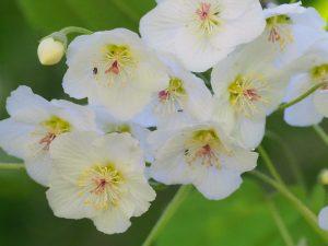 Hoheria glabrata