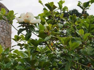 Magnolia grandiflora